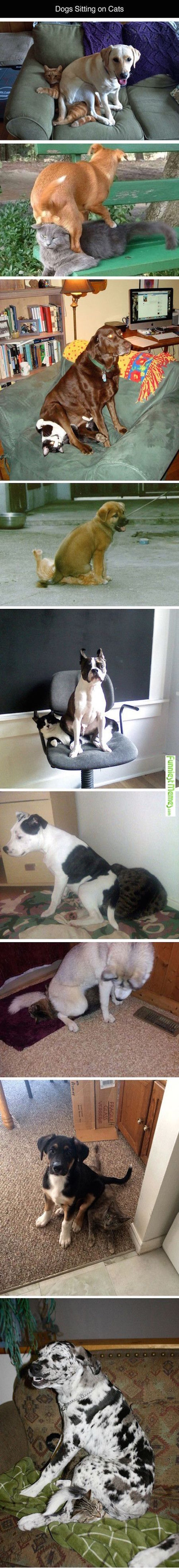 funny pictures of dogs sitting on cats