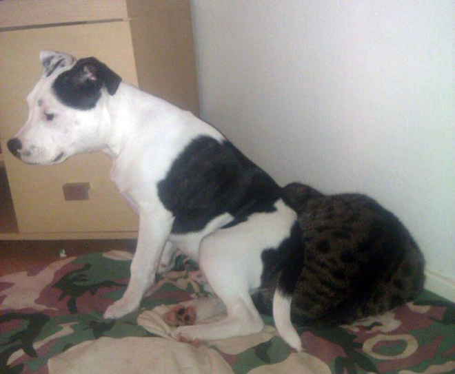 Dogs Sitting On Cats, funny dogs, dogs funny, dogs and cats, cats and dogs, funny cat, funny cats, cats funny, dogs vs cats, cats vs dog, cat vs dog, dog vs cat