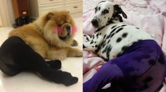 funny dogs, funny dog, funny animal, funny animals, funny vids, funny pictures, funny photos, funny pics, dogs, dogs in pantyhose, pantyhose dogs