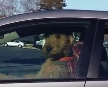 funny vids, funny videos, funny dog, funny dogs, dog, dogs, dog videos, funny animals, impatient dog beeps horn, dog beeps horn, dog honking horn