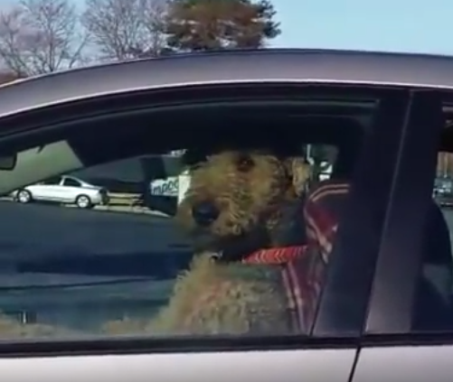 This Impatient Dog Beeping A Car Horn Is My Spirit Animal
