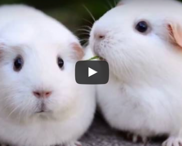 disappointed guinea pig, funny guinea pig, funny animal, funny animals, guinea pig sound of silence, sound of silence guined pig, funny video, funny videos, funny vid, funny vids, guniea pig videos, guinea pig video
