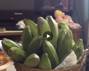 parrot vine, parrot vines, bird vine, bird vines, bird video, bird videos, bird vine, bird vines, parrot, parrot bananas, green bird bananas, parrot bananas vine, parrot banana vine, bird banana vine, banana bird vine, funny video, funny videos, funny vid, funny vids, funny vine, funny vines, funny animal vine, funny animal vines, funny animal video, funny animal videos,
