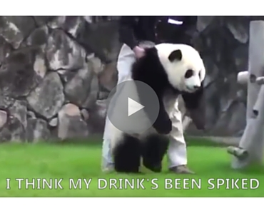 Whatever you do dont go drinking with this panda voltagebd Choice Image