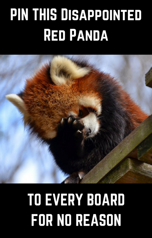 funny picture of a disappointed red panda