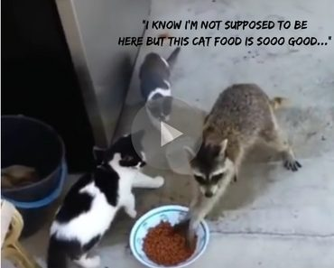 raccoon steals cat food, raccoon steals cat food voiceover, raccoon steals cat food voice over, raccoon steals cat food voice-over, funny raccoon steals cat food, raccoon steals cat food funny, raccoon steals cat food video, raccoon steals cat food vid, raccoon steals cat food facebook, raccoon steals cat food original, raccoon steals cat food vine, raccoon cats, cats raccoon, thief raccoon, raccoon thief, funny raccoon, raccoon funny, cats funny, funny cats, funny video, funny videos, funny vid, funny vids, funniest video ever, animal video, animal videos, funny animal, funny animals