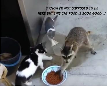 Raccoon Steals Cat Food Voice Over