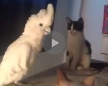 cats watching bird, bird imitates cats, bird meows, meowing bird, funny animals, funny animal, funny bird, funny birds, funny video, funny videos, funny vid, funny vids, funniest video ever, funniest bird ever, best bird, best birds