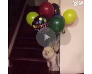 dog takes flight, doggo takes flight, flying dog, dog flying, flying doggo, doggo flying, dog balloons, balloons dog, balloon dog, dog balloon, epic dog music, funny dog, funny dogs, happy dog, dog happy, funny animals, funny animal, funny animal videos, funny animal video, funny videos, funny video, funny vids, funny vid, funny dog, funny dogs, dog, dogs, best dog ever, funny dog video, funny dog videos, funny dog vid, funny dog vids, dog videos funny, dog video funny, funniest dog videos 2016, funniest dog videos 2017, funniest dog videos 2018, funniest dog videos 2019, funniest dog videos 2020, best dog videos 2016, best dog videos 2017, best dog videos 2018, best dog videos 2019, best dog videos 2020