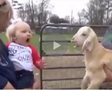 baby screaming at a goat, baby screams at goat, little girl screaming at goat, goat screaming at baby, baby makes goat noise, little girl makes goat noise, baby and goat scream at each other, baby yelling at goat, goat yelling at baby, funny goat, goat funny, funny goats, goats funny, goat falls, goats falling, funniest goat ever, funniest goat videos 2016, funniest goat videos 2017, funniest goat videos 2018, funniest goat videos 2019, funniest goat videos 2020, best goat videos 2016, best goat videos 2017, best goat videos 2018, best goat videos 2019, best goat videos 2020, cute goat, goat cute, funny goat video, funny goat videos, funny animals, funny animal, funny animal videos, funny animal video, funniest baby videos 2016, funniest baby videos 2017, funniest baby videos 2018, funniest baby videos 2019, funniest baby videos 2020, funny videos, videos funny, funny vids, vids funny, funny video, video funny, funny vid, vid funny, funniest videos 2016, funniest videos 2017,funniest videos 2018, funniest videos 2019, funniest videos 2020, best videos 2016, best videos 2017, best videos 2018, best videos 2019, best videos 2020
