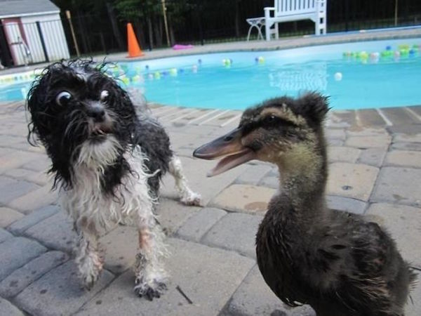 funny picture of dog scared of duck
