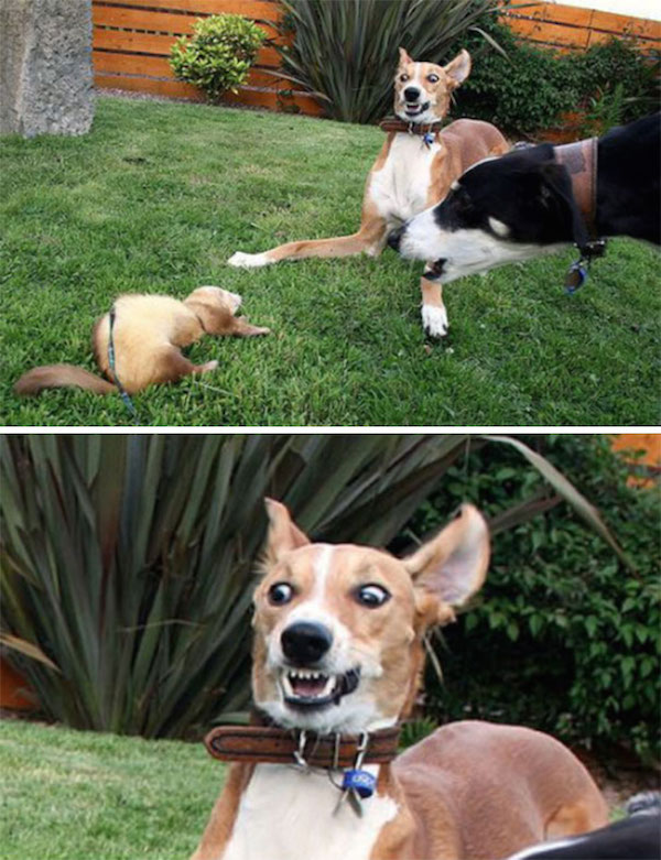 funny pic of ferret scaring dogs
