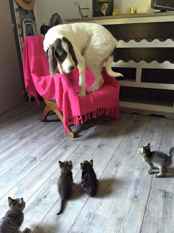 funny pic of dog scared of kittens