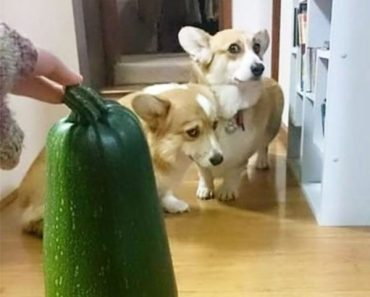 funny photo of corgis scared of zucchini