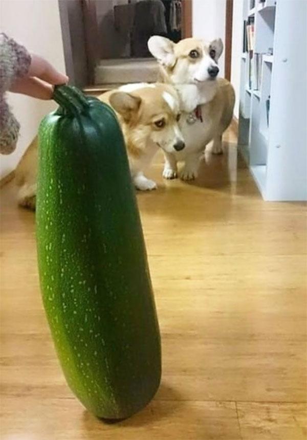 funny photo of corgis scared of zucchini