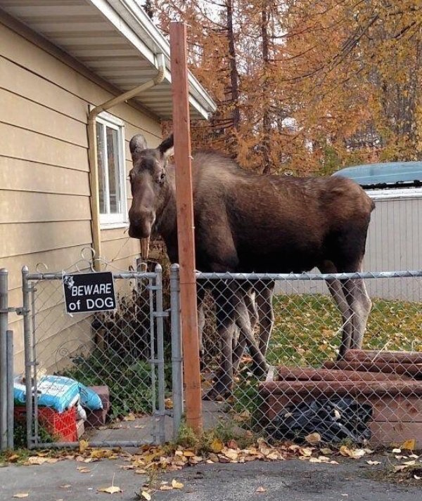 funny photo of moose behind beware of dog sign
