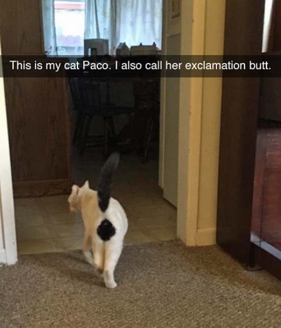 funny picture of cat with exclamation butt