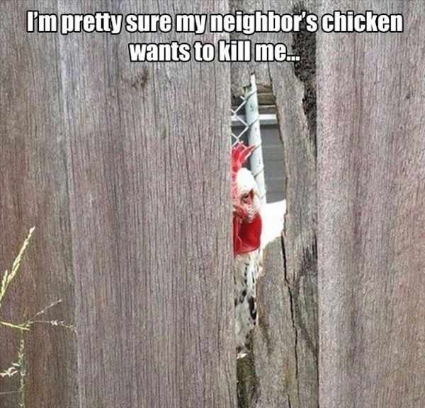 funny photo of chicken wants to kill me