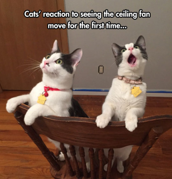 funny photo of cats reacting to ceiling fan