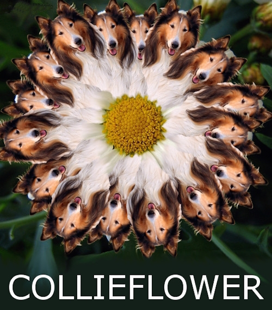 funny photo of collieflower pun for cauliflower
