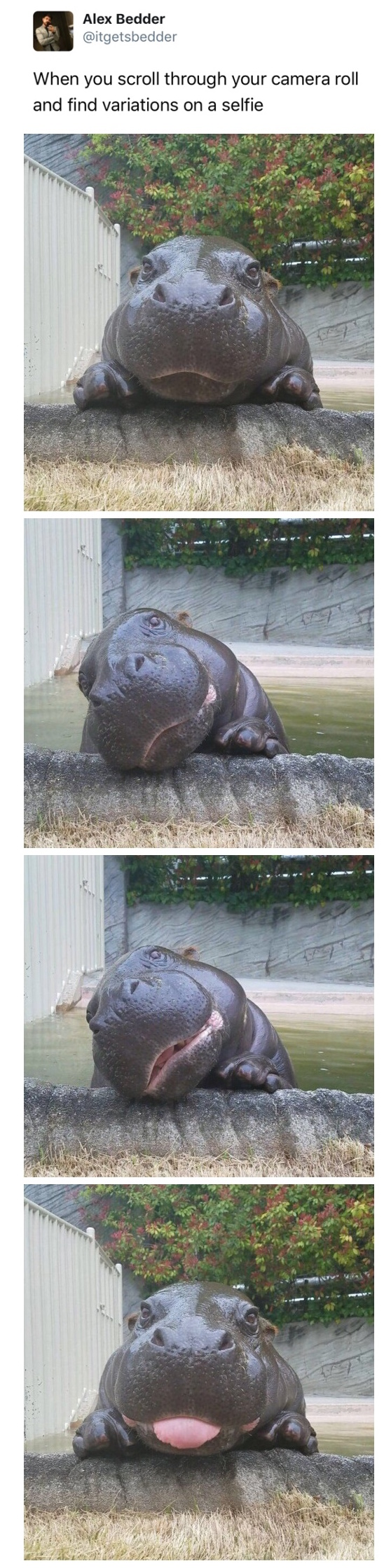 funny picture of hippo selfies