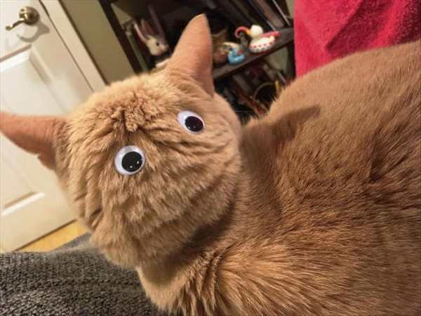 funny pic of cat with googly eyes on back of head