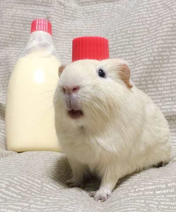 silly picture of guinea pig looks like bottle of glue