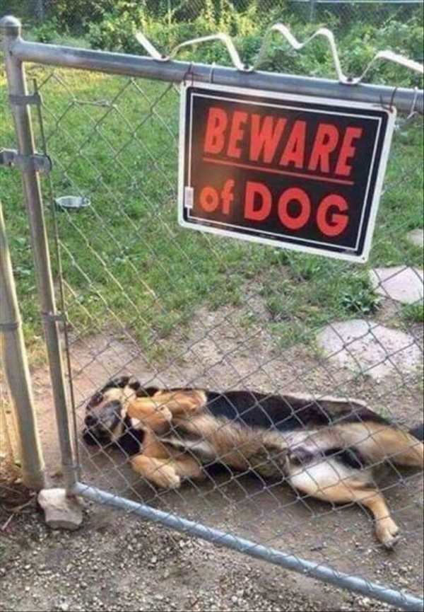 funny image of dog rolling over in front of beware of dog sign