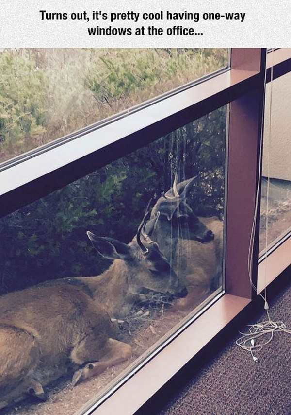 funny pic of deer sitting next to a one way office window