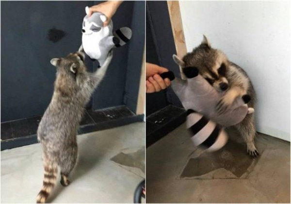 funny photo of raccoon hugging a raccoon toy