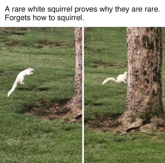 funny image of rare white squirrel crashing into tree