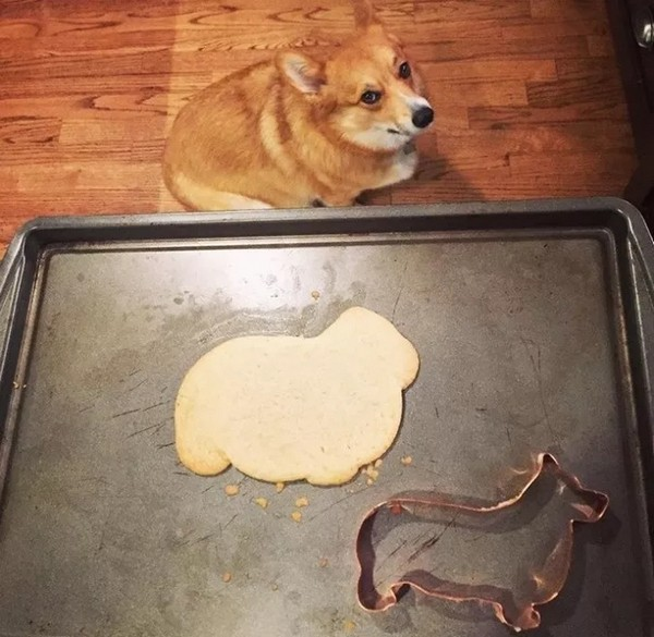 funny pic of corgi cookie fail