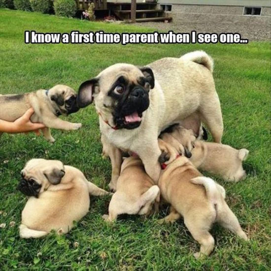 funny pic of pug is a first time parent