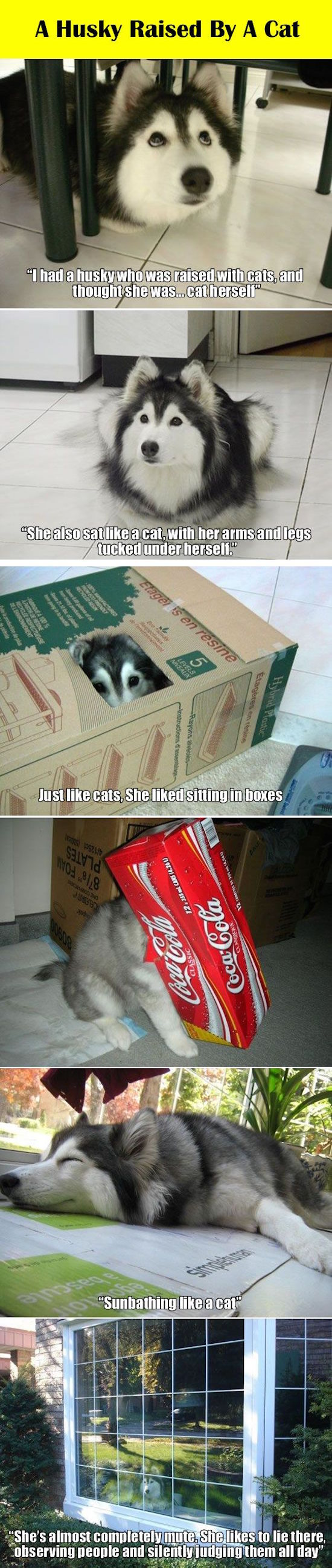 funny pictures of a husky acting like a cat