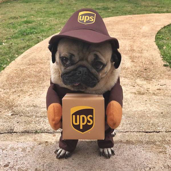 funny photo of pug in a ups costume