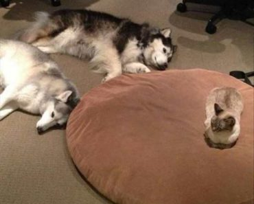 funny picture of cat sitting on dog bed while dogs sleep on the floor