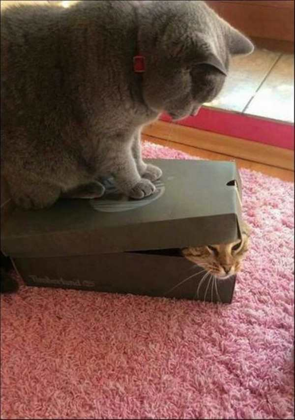 funny picture of cat standing on other cat in box
