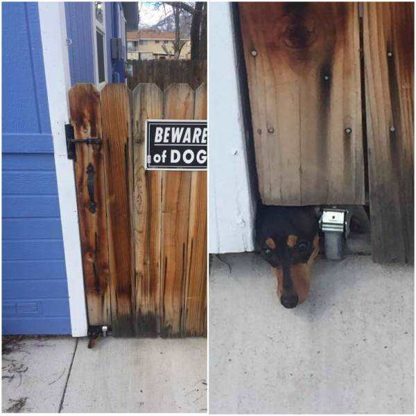 funny photo of beware of dog sign with dog sticking head under gate