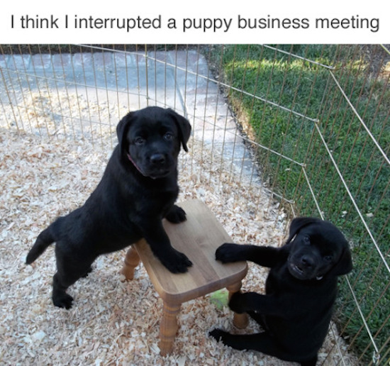hilarious picture of a puppy business meeting
