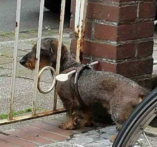 hilarious picture of dog with spoon in its collar to prevent it from escaping through gate