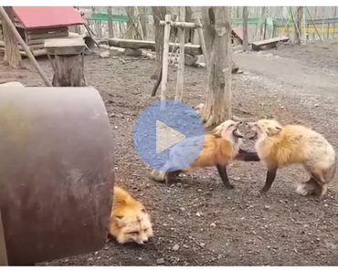 funny video of two red foxes screaming at each other