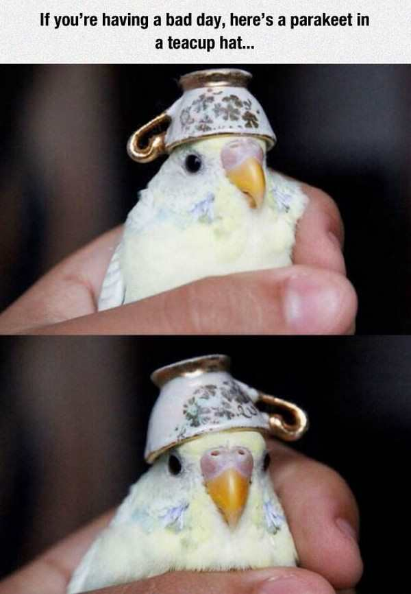 silly picture of parakeet in a tea cup hat