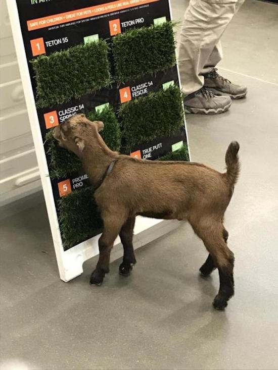 goat eating grass samples, best funny pictures, funny pics, funny photos, funny pictures, funny vids, the best funny pictures, really funny photos, funny photos of animals, funny photos 2016, funny photos 2017, funny photos 2018, funny photos 2019, funny pics 2016, funny pics 2017, funny pics 2018, funny pics 2019, funny pictures 2016, funny pictures 2017, funny pictures 2018, funny pictures 2019, funniest pics 2016, funniest pics 2017, funniest pics 2018, funniest pics 2019, funniest pictures 2016, funniest pictures 2017, funniest pictures 2018, funniest pictures 2019, funniest photos 2016, funniest photos 2017, funniest photos 2018, funniest photos 2019, where to find funny pictures, funny pictures which made everyone laugh, where funny pictures, where to download funny pictures, where to find funny pictures with captions, where to get funny pictures for instagram, where to find funny pictures to share, where to find funny pictures to share on facebook, where to see funny pictures, funny pictures for instagram, funny pictures for facebook, funny pictures for memes, funny pictures for wallpaper, funny pictures for him, funny pictures for her, funny pictures for friends, funny pictures for snapchat, funny pictures like uberhumor, funny pictures like 9gag, funny pictures like facebook, funny pictures like, funny pictures like ifunny, funny stuff like pictures, funny pictures to text, funny pictures to photoshop, funny pictures to send, funny pictures to caption, funny pictures to post, funny pictures to make someone feel better, funny pictures to put on facebook, funny pictures to make you laugh, funny pictures to make you smile, funny pictures to brighten your day, funny pictures to brighten someone's day, funny pictures with words, funny pictures with no words, funny pictures without captions, funny pictures with jokes, funny pictures with dogs, funny pictures with cats, funny pictures without words, funny pictures without text, where can I find funny photos, best photos ever, best photo ever,