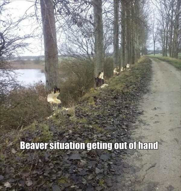 best photo ever of beaver situation out of hand