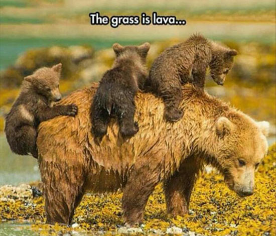 greatest photo of bear cubs climbing on bear, ground is lava