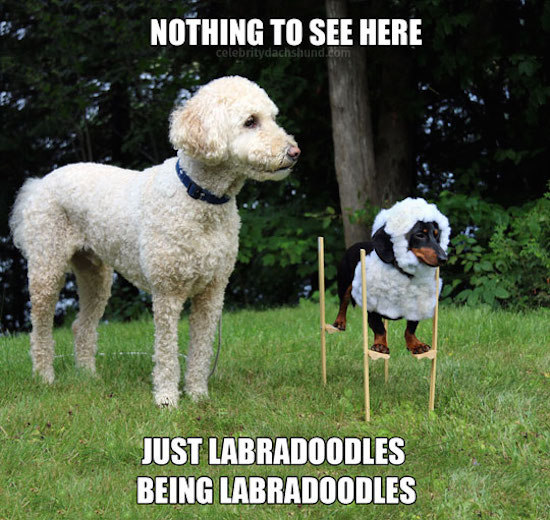 hilarious picture of dachsund in labradoodle costume