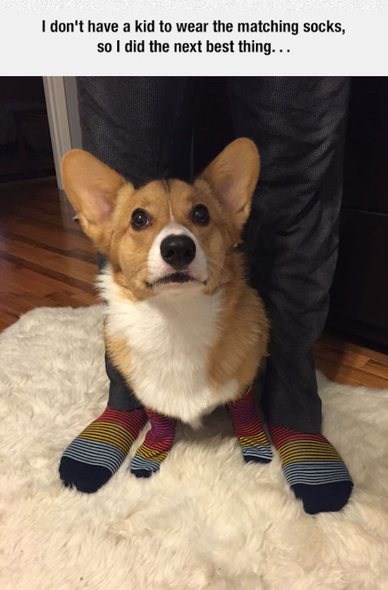 hilarious picture of corgi wearing matching socks
