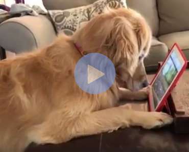 cute video of dog watching a squirrel video on a tablet
