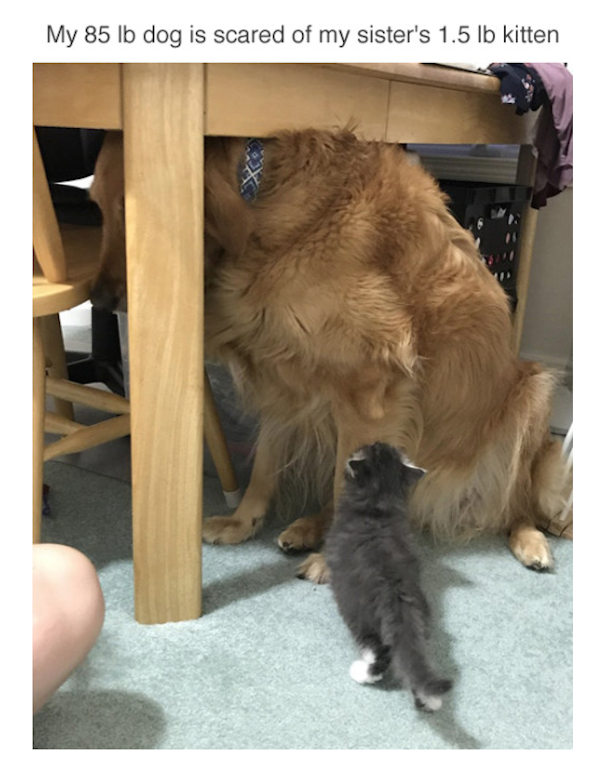hilarious photo of dog scared of kitten