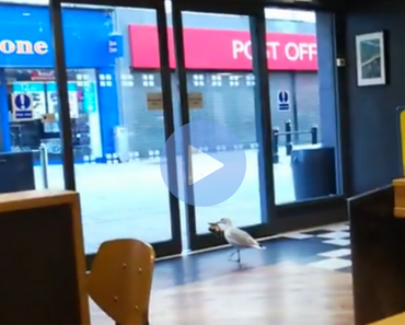 funny video of seagull steals chips from store